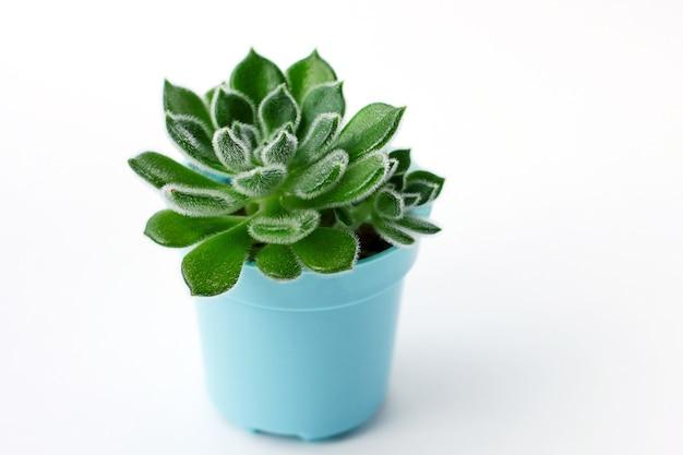 白い背景、緑の多肉植物、エケベリアsetosaの多肉植物をクローズアップ
