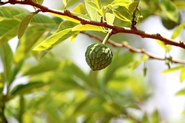 나무에 근접 설탕 사과 과일입니다. annona squamosa 또는 sweetsop 과일.