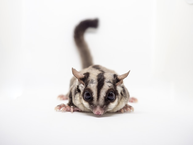 Close up of sugar glider on white background.