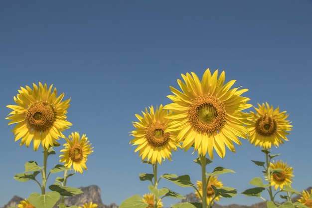Close up sun flowers and blue sky .a beautiful yellow flowers in fields.