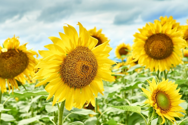 Close-up of a sunflower flower in a farm field.