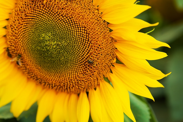 Close up sunflower and working bee nature background