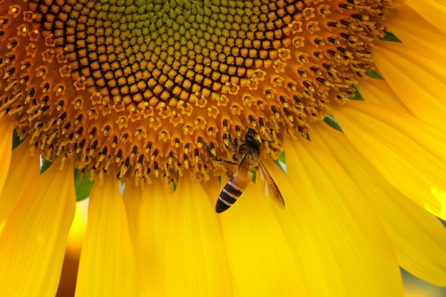 Close-up sunflowers are blooming and bee eating nectar.