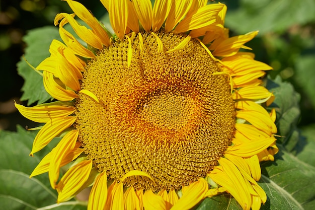 Close up of sunflowers in glowing yellow ligh, a bright yellow and fully bloomed sunflower field, oil natural , agriculture