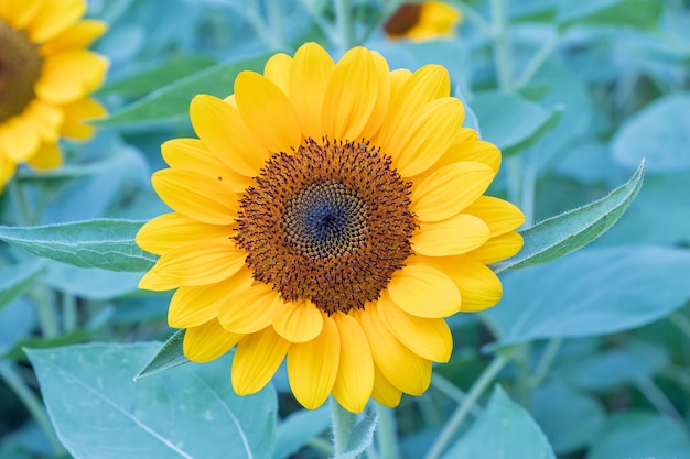 自然の背景にひまわりをクローズアップフィールドの美しい黄色い花