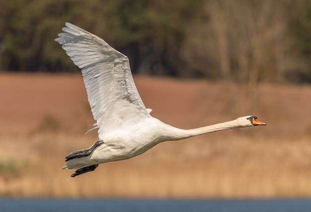 Close-up of a swan in flight