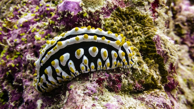 Close up of swollen phyllidia nudibranch in the maldives.