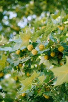 Close-up of sycamore branches during flowering with round green balls.