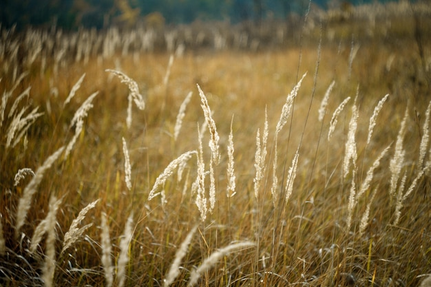Close-up of tall yellow spikelets against the backdrop of a withered autumn meadow and a blurry sky
