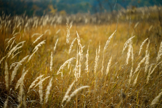 Close-up of tall yellow spikelets, withered autumn meadow