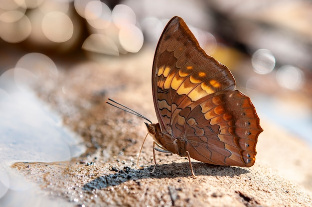 Close up of tawny rajah (charaxes bernardus) butterfly puddling on the ground in nature