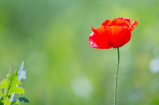 Close-up of tender blooming lit by summer sun one red wild poppy flower on high stem on blurred bright green bokeh summer background. beauty and tenderness of nature concept.
