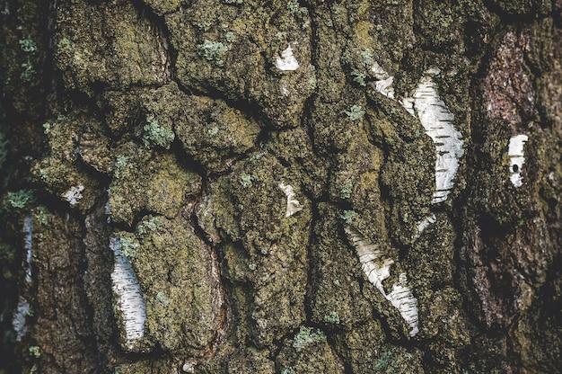 흰색 갈색 껍질을 가진 자작나무의 클로즈업 질감.
