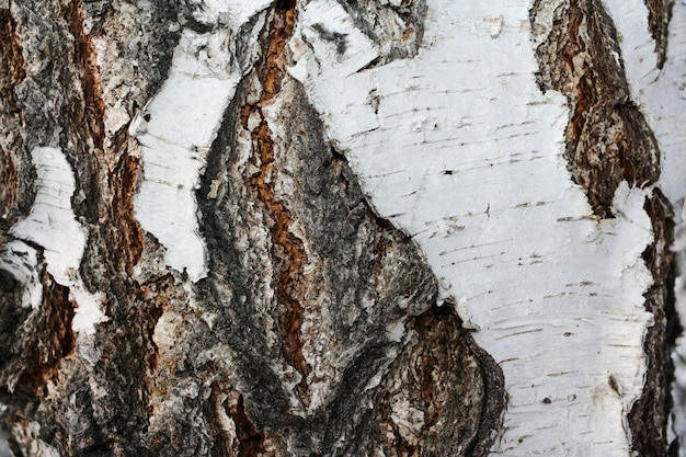 Close-up of the textured bark birch