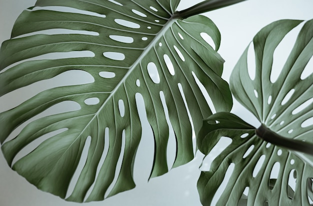 Close-up of textured beautiful natural monstera leaves.