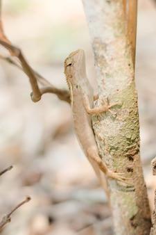 Close up thai chameleon on the tree.