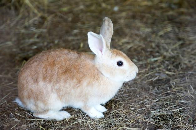 乾いた草の上に茶色のウサギを閉じます。