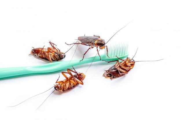 Закройте вверх таракан таиланд на зубной щетке