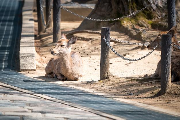 Закройте милого оленя в храме тодайдзи в совершенстве нара, япония.