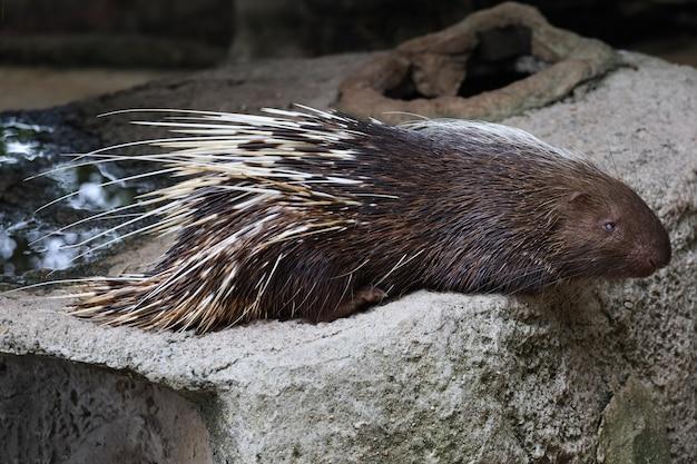 Крупным планом животное малайский дикобраз спит и отдыхает