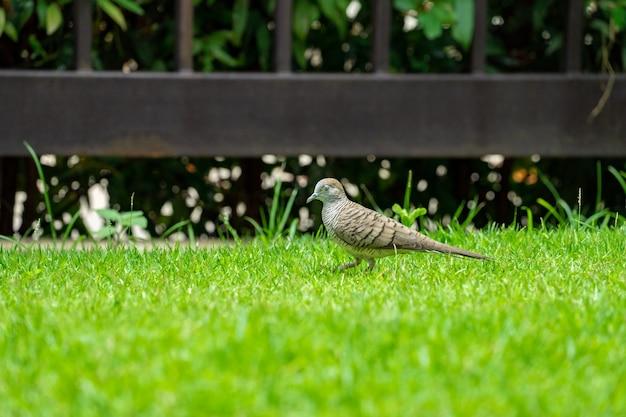 朝の芝生のフィールドで自然の鳩の散歩を閉じます。