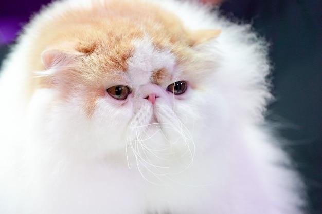 短い鼻を閉じて、ペルシャ猫の顔に長い茶色のオレンジ色の髪を向けます。