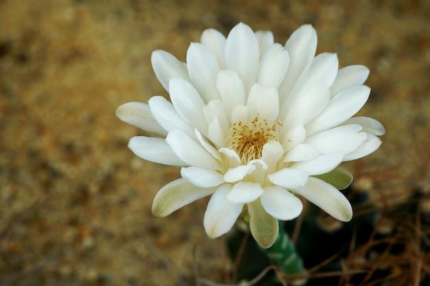 庭のギムノカリキウムmihanovichiiサボテンの白い花を閉じる