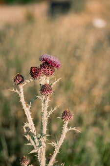 Close-up of a thistle bush during flowering.