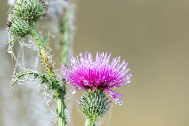 Close-up of a thistle flower in a spider web in the morning dew.