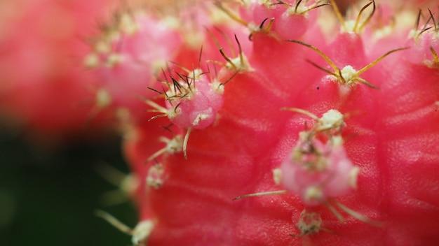サボテンのとげをクローズアップその名前はgymnoまたはgymnocalyciummihanovichiiです