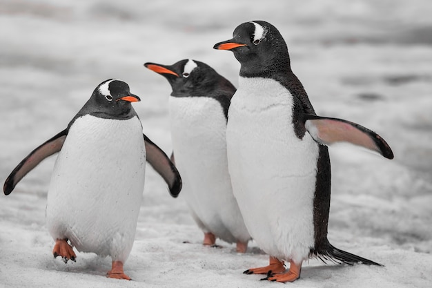 Close up three penguins . antarctic mountains.