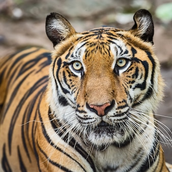 Close-up of a tiger's face. (panthera tigris corbetti) in the natural habitat, wild dangerous animal in the natural habitat, in thailand.
