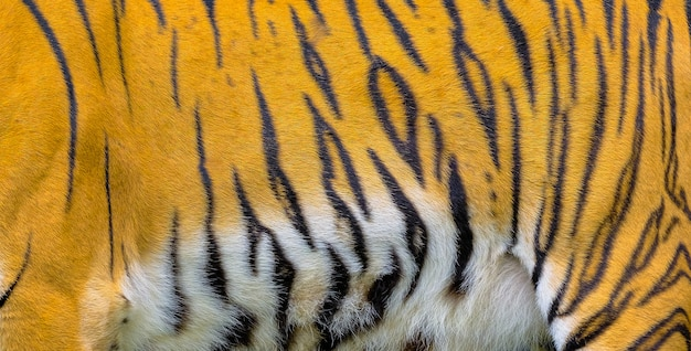 Close up tiger skin texture background