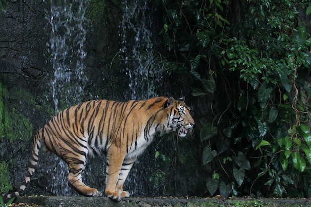 Close up tiger walk in front of the waterfall at thailand.