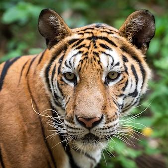 Крупный план тигра.
