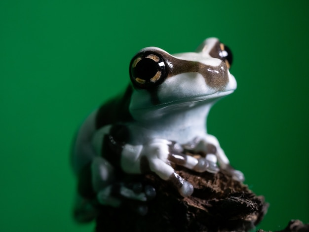 Close up tiny amazon milk frog.