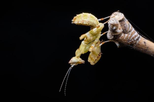 Close up tiny mantis on branch