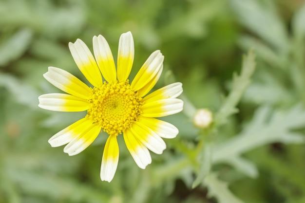 トンハオまたは食用菊としても知られているトンハオの花シュンギクをクローズアップ