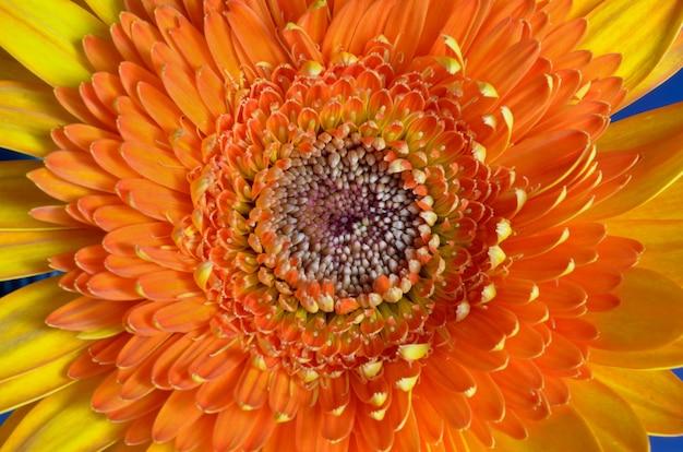 オレンジ色のガーベラの花の中心のクローズアップ