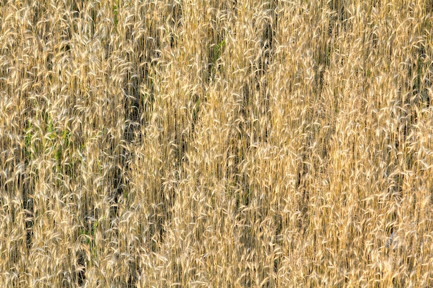 Close-up top view of isolated lit by summer sun growing dried withered long golden yellow brown wild, field or lawn grass background. agriculture, farming, abstract design concept.