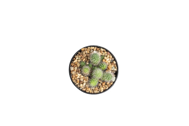 Close up top view mammillaria cactus in black pot isolated
