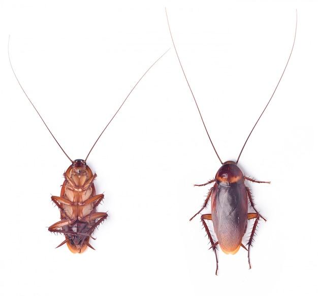 Крупным планом вид сверху мертвого таракана на белом фоне