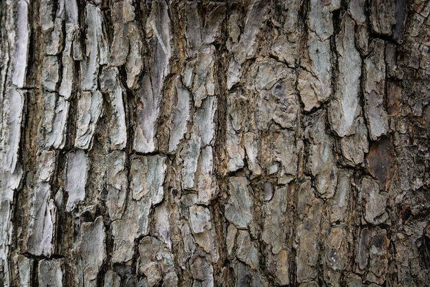 나무 배경으로 나무 껍질을 닫습니다 열대 아몬드 또는 인도 아몬드의 질감