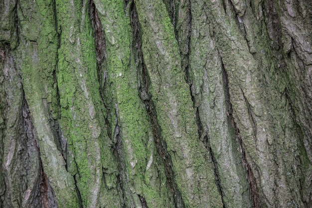 Close up of a tree bark overgrown with green moss