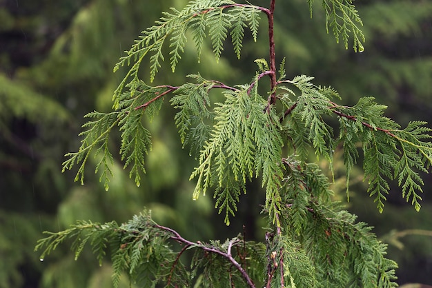 Close-up of tree branch, alberni-clayoquot regional district, vancouver island, british columbia, ca