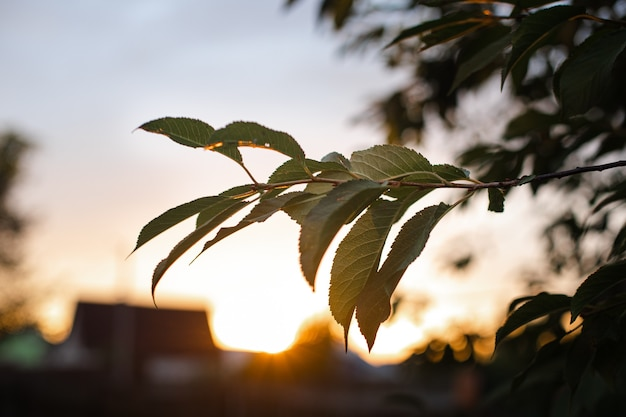 Close-up of a tree branch with green leaves in evening sunlight against blue sky at sunset.