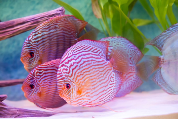 Close up on tropical fish of the symphysodon discus fishes