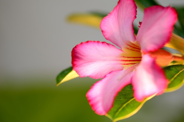 Close up of tropical flower pink adenium. desert rose.
