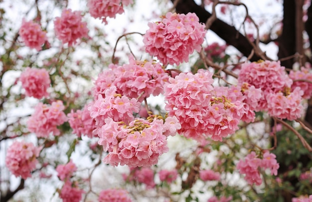 Close up trumpet trees blooming in spring season. pink flower in park.