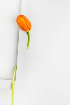 Close-up of tulip flower on white border frame